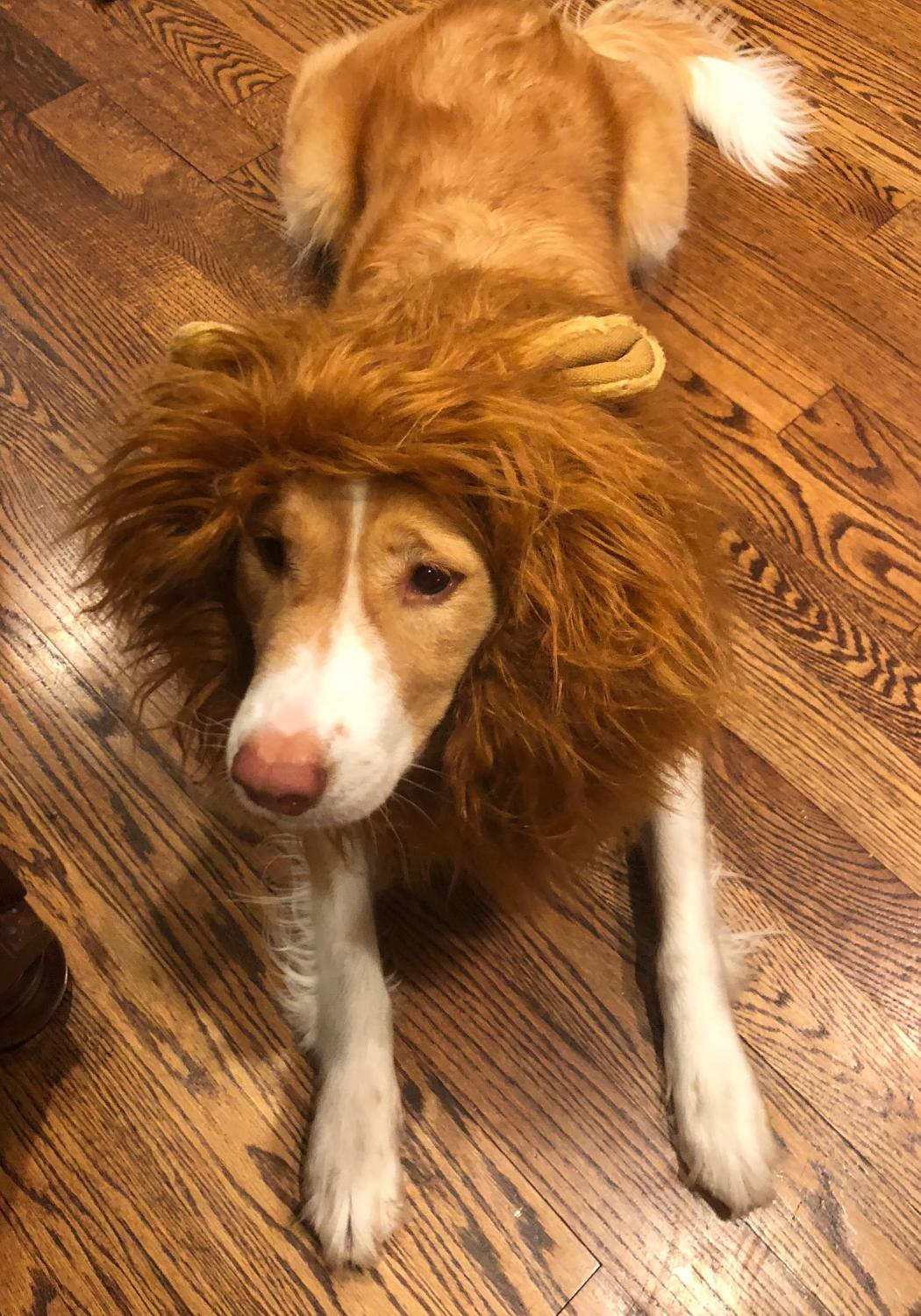 Dog%E2%80%99s+Name%3A+Willow%0A%E2%80%9CShe%E2%80%99s+dressed+up+as+a+lion+mane+on+her+head+because+we+thought+it+was+cute.+%5BWe+did+it+because+it+was%5D+marching+band+related.+Our+theme+this+year+has+to+do+with+courage+and+lions+and+we+thought+she%E2%80%99d+look+kind+of+cute+as+a+lion.%E2%80%9D+%0A-+Morgan+Rollins+%2720